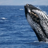 Pacific Humpback Whale Breaching