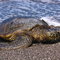 Hawaiian Green Turtle on the Beach