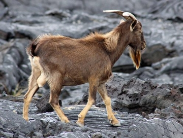 Wild Goat on a Lava Field